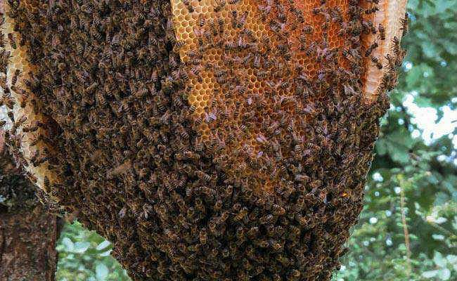 Banka News: फसल काटने के दौरान किसानों पर मधुमक्खियों ने किया हमला, बुजुर्ग दंपति की मौत