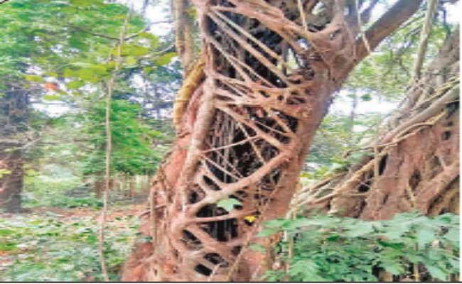 कोलकाता : हत्यारा है यह पेड़, 162 पेड़ों को खा चुका है ये दानव पेड़