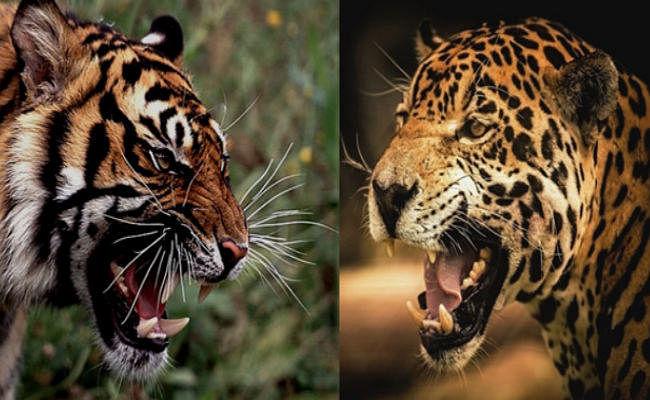 चंपारण के गांव में बाघ ने जमाया डेरा, घास काटने गये ग्रामीण का किया शिकार, लोगों में दशहत