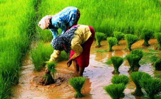 बिहार में खेती पर बारिश का असर, कई जगहों पर गल गये धान के बिचड़े, मूंग भी पानी में डूबी