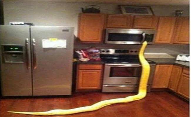 रसोईघर में घुसा अजगर, वनकर्मियों ने पकड़ा