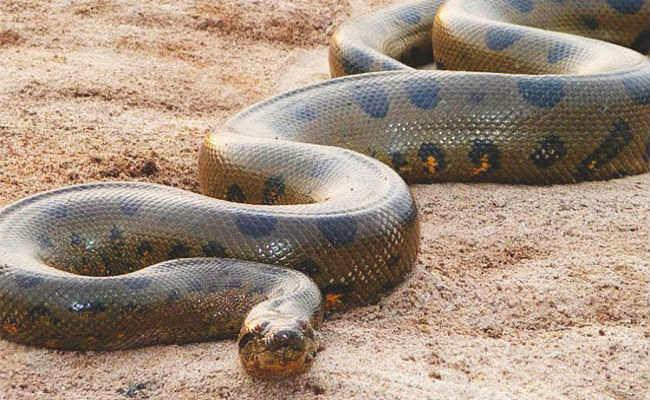 अलीपुर जू में जल्द देखने को मिलेगा एेनाकोंडा