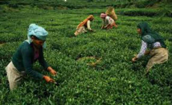 चाय श्रमिकों को मिलेगा 19.50% बोनस, श्रमिक और मालिक पक्ष की बैठक में बनी सहमति