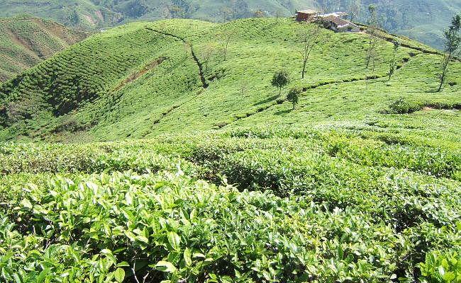 20 फीसदी बोनस की मांग पर दार्जीलिंग की 84 चाय बागानों में 4 अक्टूबर को हड़ताल