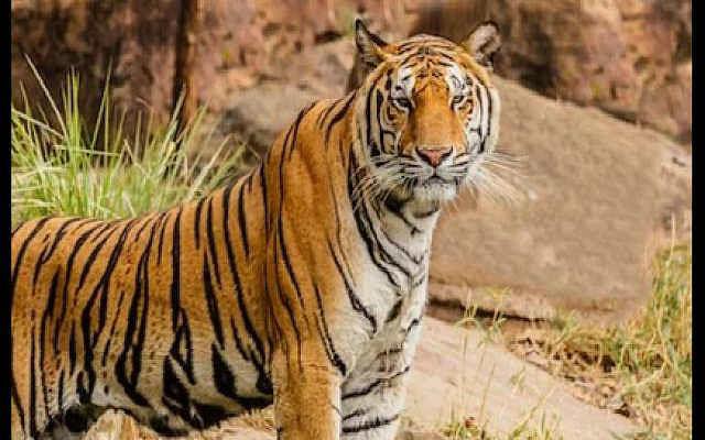 झारखंड में बाघ होने को लेकर संशय, भारत सरकार नहीं कर रही पुष्टि़, 2003 में थे करीब 34 टाइगर