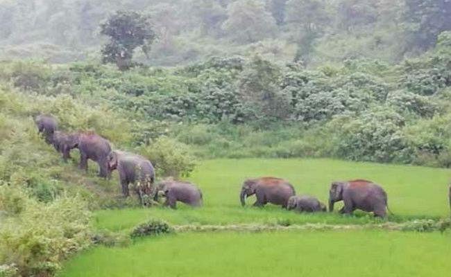 बड़कागांव : ग्रामीण क्षेत्रों में फिर से हाथियों का उत्पात शुरू, सुगन रजवार को पटककर किया घायल