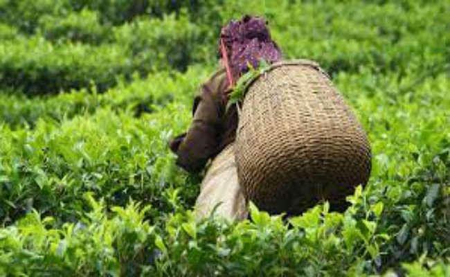 चाय बागान श्रमिकों को मिलेगा 20 फीसदी बोनस