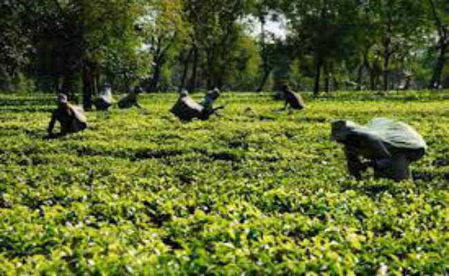 मजदूरों का वेतन भुगतान मामला गहराया, जलपाईगुड़ी में चाय बागान बंद, 1500 मजदूर बेरोजगार