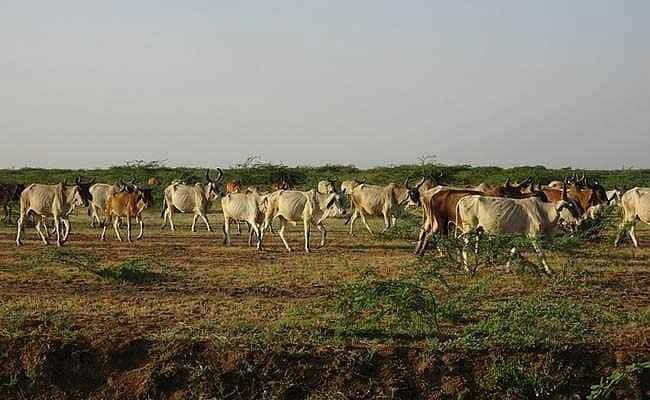 सूअर की संख्या घटी, गाय और भैंस की बढ़ी