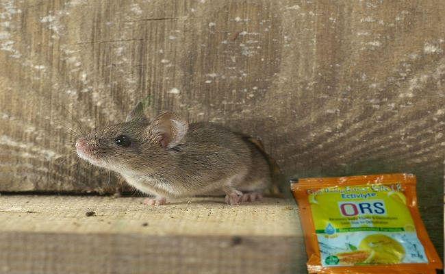 चमकी बुखार : आंगनबाड़ी केंद्रों पर आ रहे चूहों ने कुतरे ओआरएस के पैकेट