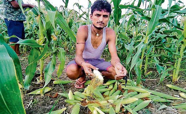 तेज हवा और बारिश से हजारों एकड़ में लगी मक्के की फसल  बर्बाद