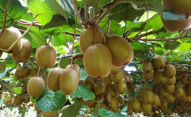 भारत में अगले पांच साल का दौरान कीवी फल का निर्यात दोगुना करेगा चिली