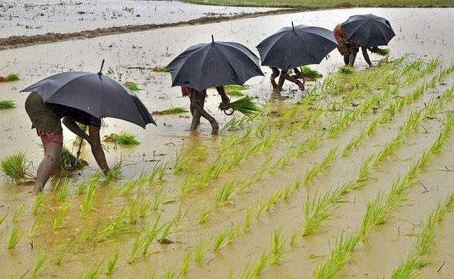 कृषि निदेशालय की 14 अगस्त तक की रिपोर्ट, आधे खेत अब भी खाली, नहीं लगा धान