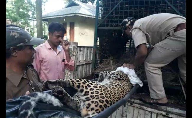 VIDEO : निगरानी के लिए वन विभाग ने तेंदुए के गले में डाला रेडियो कॉलर