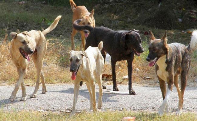 महाराष्ट्र: बुलढाणा के जंगल में मरे मिले 100 से ज्यादा कुत्ते, रस्सियों से बंधा था सबका मुंह और पैर