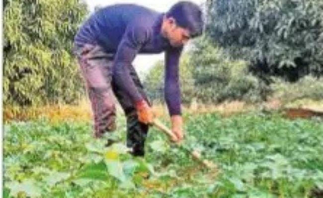 जूट मिल के बंद पड़े रहने से लुप्त हो रही है पाट की खेती, घटते दामों के कारण किसानों में उदासी