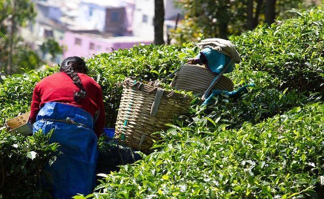 चाय बागान कर्मचारियों की जिंदगी बेहतर होने पर ही चाय उत्पादन में हो सकती है बढ़ोतरी : आइटीए