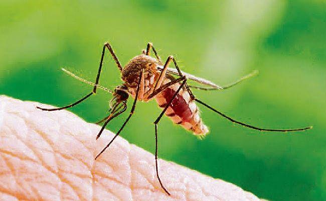 डेंगू से लड़ेंगे जीएम मच्छर, जानें