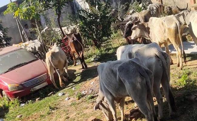 Ranchi में सुबह-सुबह पकड़ाया गौवंश लदा ट्रक, दो लोग हिरासत में