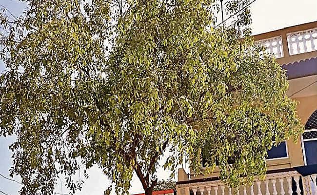 वैशाली के पकौली में बिटिया की शादी में लगाते हैं चंदन का पौधा