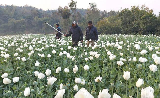 रजरप्पा : तीन एकड़ में लगी अफीम की फसल को पुलिस ने किया नष्ट, तस्करों में हड़कंप