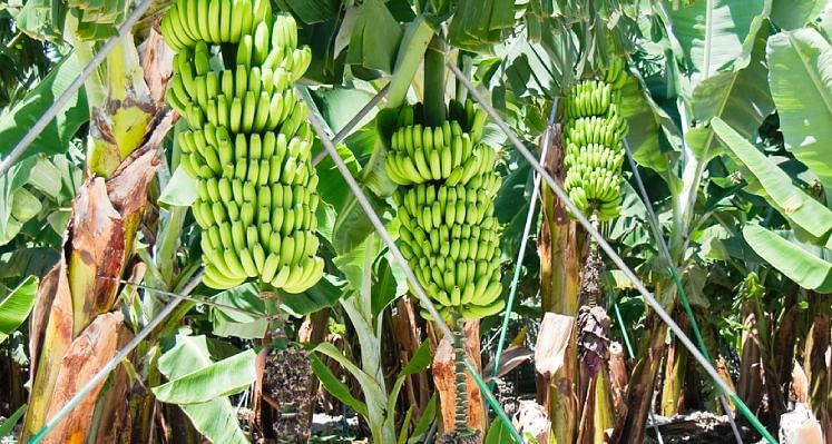 Banana Farming: केले की खेती के सामने गेहूं-धान-गन्ना उगाना भूल जायेंगे, 8 लाख रुपए तक का मुनाफा