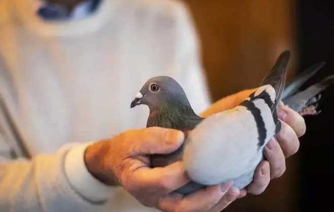 एक कबूतर की कीमत 14 करोड़, क्या है इसमें ऐसा?