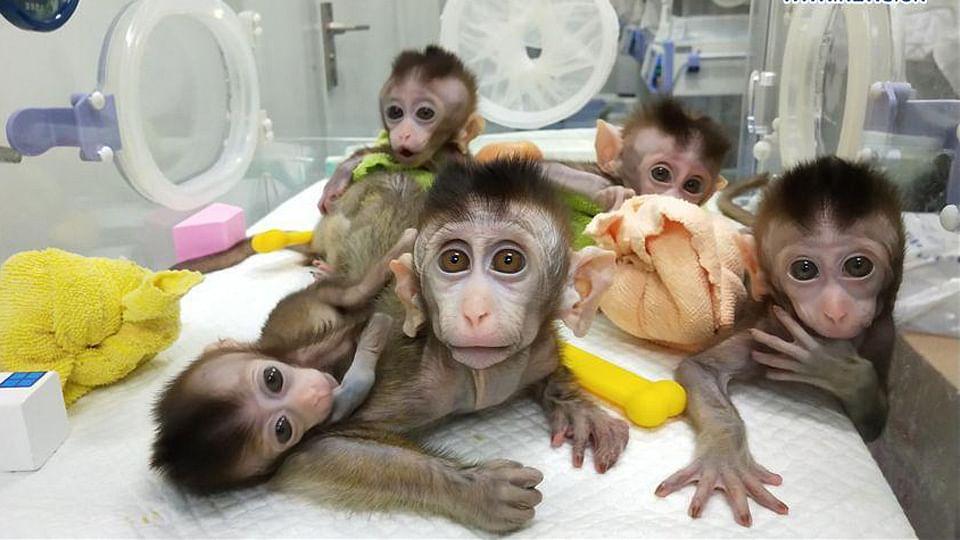 انسانی تاریخ میں پہلی مرتبہ: جینیاتی تبدیلی کے بعد کلوننگ سے 5 بندروں کی پیدائش