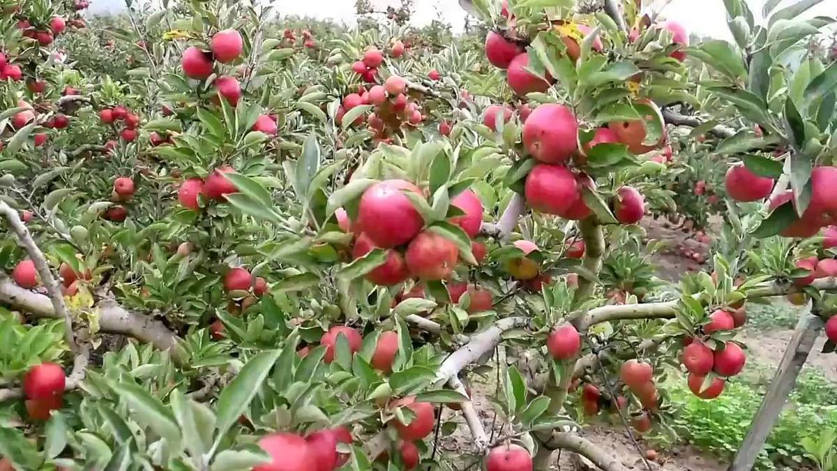 پی ایم مودی کی بیرون ملک سے محبت کا خمیازہ بھگت رہے ہماچل کے سیب باغبان