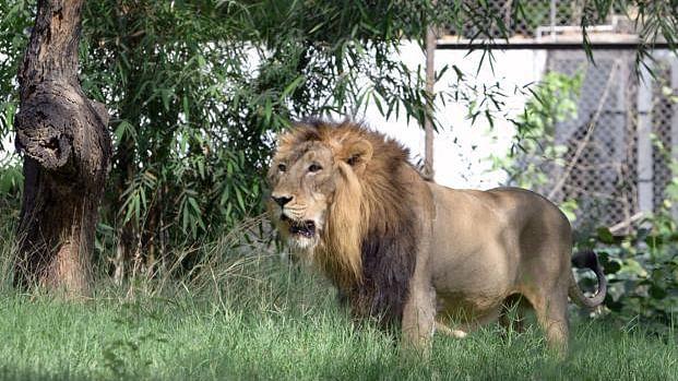 ہندوستان میں پہلی بار انسانوں سے جانوروں میں پھیلا کورونا، 8 ببر شیر متاثر
