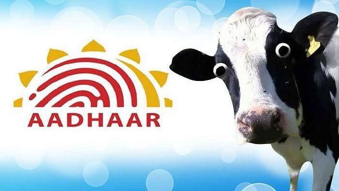 اب گائے اور بھینسوں کے بھی بنیں گے 'آدھار کارڈ'، حکومت کا منصوبہ تیار!