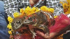 بارش کے لئے مینڈک-مینڈکی کی شادی! سیلاب کا خطرہ منڈلایا تو طلاق!