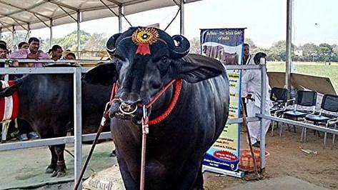 حیدرآباد میں بھینسوں کے روایتی فیسٹیول 'سدر' کی تیاری