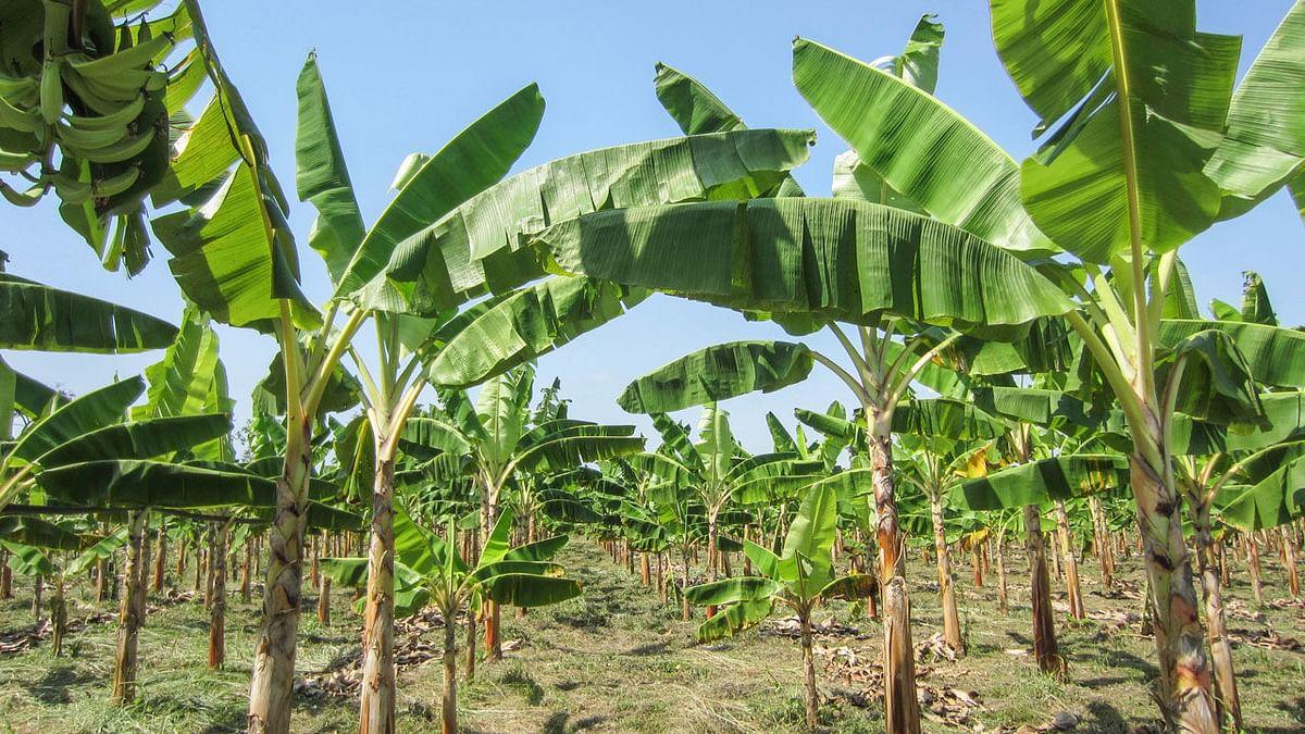 کورونا وائرس: لاک ڈاؤن کے سبب کیلے کی پیداوار متاثر