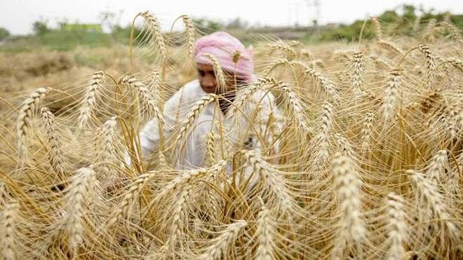 'اس برس گیہوں کی ریکارڈ پیداوار ہوگی'