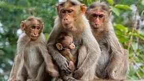 سنبھل میں 19 بندروں کی موت، کورونا وائرس سے متاثر ہونے کا شبہ!