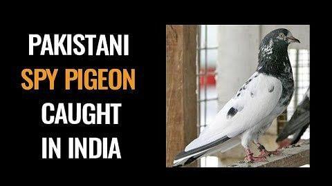 پاکستانی جاسوس ہونے کی پاداش میں پکڑا جانے والا کبوتر رہا