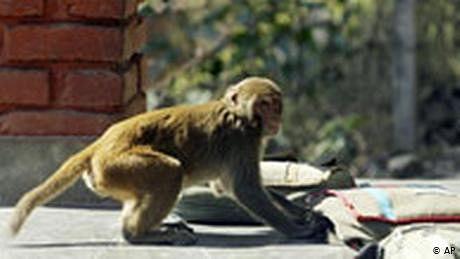 بھارت ميں بندر کورونا وائرس کے نمونے لے کر فرار