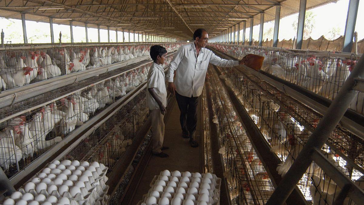 ہندوستان پر برڈ فلو کا خطرہ: چکن کھائیں یا نہیں؟ جانیں ماہرین کی رائے