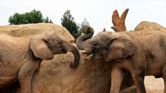 ہاتھیوں اور انسانوں کے درمیان تصادم روکنے میں ہوگا شہد کی مکھیوں کا استعمال!