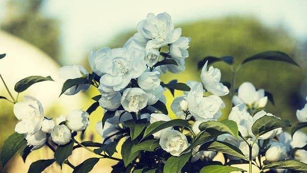 سعودی عرب: جازان میں 'گلِ یاسمین' پودے کی وسیع پیمانے پر کاشت