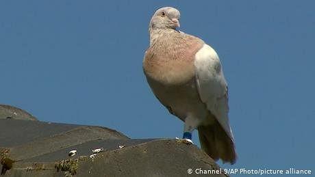 جو نامی کبوتر امريکی ہے يا آسٹريلوی، بايو سکيورٹی خطرہ ہے کہ نہيں؟