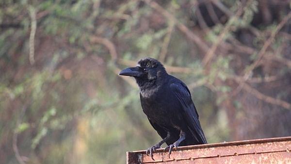 مدھیہ پردیش میں اب تک 1500 کووں اور پرندوں کی موت