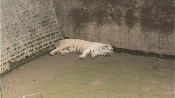 جانوروں میں کورونا کا پھیلاؤ بڑھا، چڑیا خانہ میں 9 شیر کورونا پازیٹو، ایک کی موت