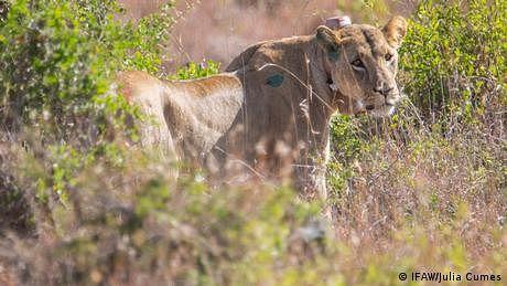 شیر کی صبح خیزی، لوگوں میں بھگدڑ مچ گئی