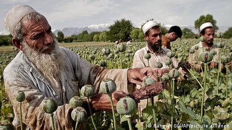 طالبان کے افغانستان میں، افیون کی قیمتیں آسمان پر