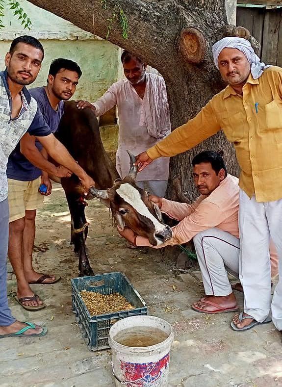 घायल बेसहारा गोवंशों का स्वयं के खर्च पर उपचार करा रहे ग्रामीण