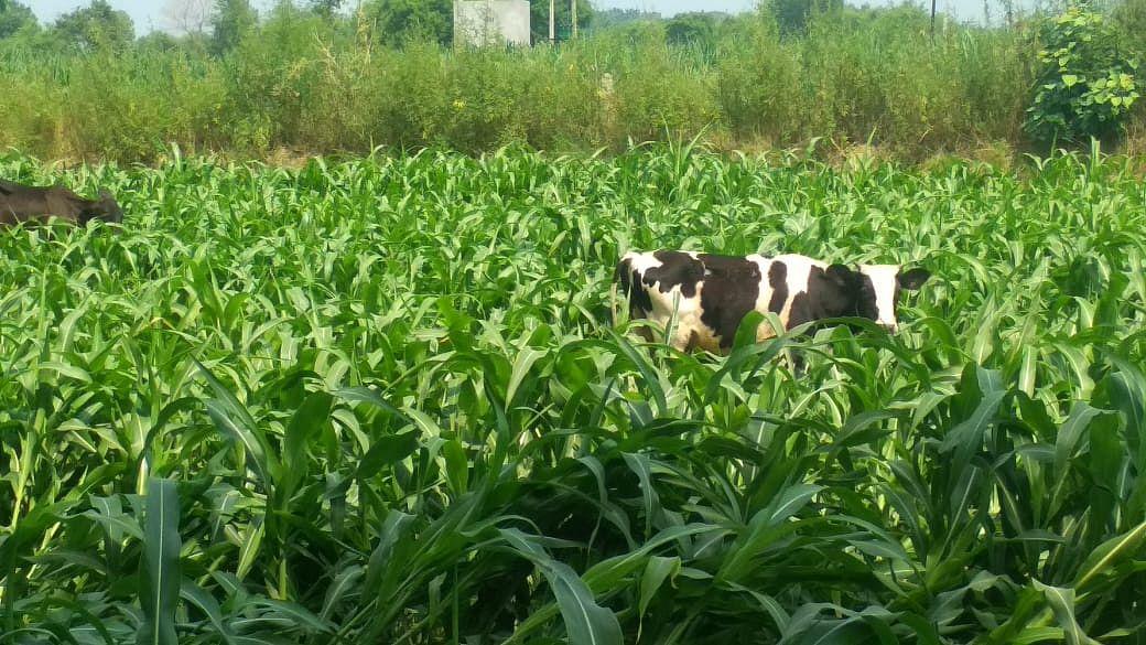 बेसहारा गोवंशों की बढ़ती संख्या किसानों के लिए बनी मुसीबत