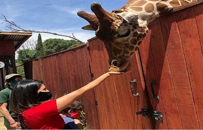 जिराफ को खाना खिलाते सनी लियोनी का वीडियो सोशल मीडिया पर वायरल