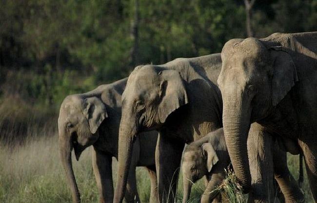 कॉर्बेट और राजाजी टाइगर रिजर्व में तीन साल में 10 फीसदी बढ़े हाथी